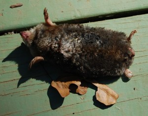 photo of mole my dogs brought home