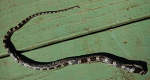 photo of rat snake