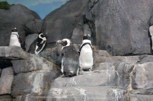 Photo of Monterrey Bay Aquarium Penguins