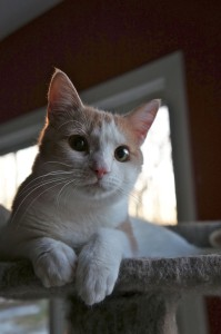 Athena, aka Pretty Princess Kitty. You can see why we call her that. All that's missing is the crown.