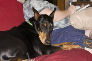 Doberman on Couch photo